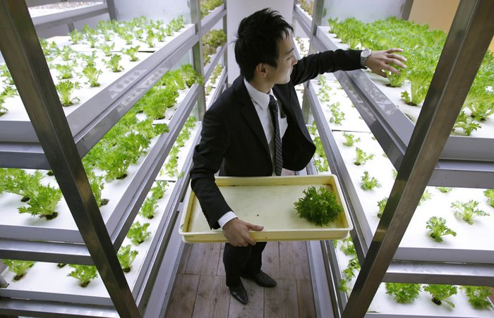 An employee harvests vegetables grown under Hybrid Electrode Fluroescent Lamps inside of an office of Pasona Group in Tokyo