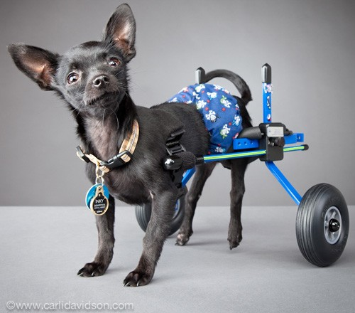pets with disabilities6