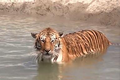 (VIDEO) Τίγρεις κολυμπούν για πρώτη φορά μετά την διάσωση τους!