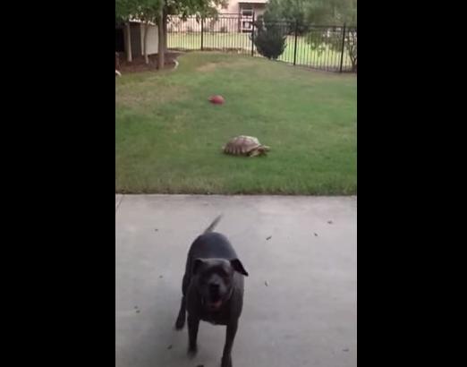 Κυνηγητό μεταξύ σκύλου και… χελώνας! (Βίντεο)